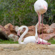 Greater Flamingos in a park — Stock Photo