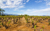 Vineyard in Greece in spring — Stock Photo
