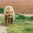 Brown bear (Ursus arctos) in a zoo — Stock Photo