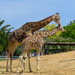 Stock Photo: A pair of giraffes