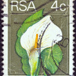 SOUTH AFRICA - CIRCA 1974: A stamp printed in South Africa shows an Arum lily (Zanthedeschia ethiopica) flower, circa 1974. - Stock Photo