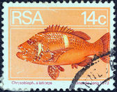SOUTH AFRICA - CIRCA 1974: A stamp printed in South Africa shows a Roman seabream (Chrysoblephus laticeps) fish, circa 1974. — Foto de Stock