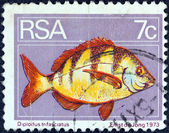 SOUTH AFRICA - CIRCA 1974: A stamp printed in South Africa shows a Zebra seabream (Diplodus trifasciatus) fish, circa 1974. — Stock Photo