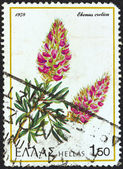 "GREECE - CIRCA 1978: A stamp printed in Greece from the ""Greek flora"" issue shows a Cretan Ebony (Ebenus cretica) flower, circa 1978. — Stock Photo"