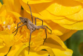 Spider on a yellow flower — Stock Photo