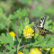 Old World Swallowtail (Papilio machaon) butterfly on yellow flower — Stock Photo