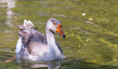 Goose swimming in pond — 图库照片