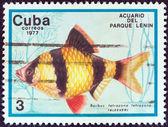 """Kuba - circa 1977: eine briefmarke gedruckt in kuba aus der """"fish in lenin park aquarium, havana""""-ausgabe zeigt einen tiger barb fisch (barbus tetrazona), ca. 1977. — Stockfoto"""