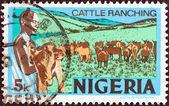 NIGERIA - CIRCA 1973: A stamp printed in Nigeria shows Cattle ranching, circa 1973. — Stock Photo