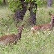Roe deers in a forest — Stock Photo