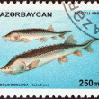 "Stock Photo: AZERBAIJAN - CIRC1995: stamp printed in Azerbaijfrom ""Florand Fauna"" issue shows Belug(Huso huso) fishes, circ1995."
