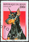 "BENIN - CIRCA 1997: A stamp printed in Benin from the ""Dogs"" issue shows a Dobermann pinscher, circa 1997. — Stock Photo"