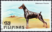 "PHILIPPINES - CIRCA 1979: A stamp printed in Philippines from the ""Cats and Dogs "" issue shows a Dobermann pinscher, circa 1979. — Stock Photo"