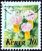 "KENYA - CIRCA 1983: A stamp printed in Kenya from the ""Flowers "" issue shows Shada Zambarau (Dichrostachys cinerea), circa 1983. — Stock Photo"