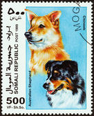 """SOMALIA - CIRCA 1999: A stamp printed in Somalia from the """"Dogs """" issue shows Australian Shepherd and Chinook, circa 1999. — Stock Photo"""