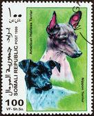 1999 年頃 - ソマリア: ソマリアの「犬」の問題から印刷スタンプ日本テリアと 1999 年頃のアメリカの毛のないテリアを示しています. — ストック写真