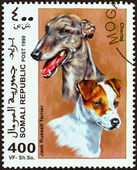 """SOMALIA - CIRCA 1999: A stamp printed in Somalia from the """"Dogs """" issue shows Jack Russell Terrier and Chortaj, circa 1999. — Stock Photo"""