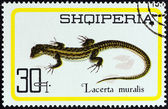 """ALBANIA - CIRCA 1966: A stamp printed in Albania from the """"Reptiles """" issue shows Common wall lizard (Lacerta muralis), circa 1966. — Stock Photo"""