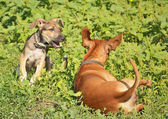 Two dogs playing in the grass — Stock Photo