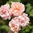 Stock Photo: Shrub roses