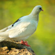 White Dove — Stock Photo #29894171