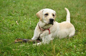 Young dog playing with a stick for a walk — Stock Photo
