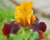 Yellow-red iris — Stock Photo