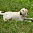 White labrador dog lying on the grass — Stock Photo