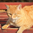 Red cat lays on a bench — Stock Photo