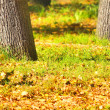 Trunks of trees on the background of autumn leaves — Stock Photo