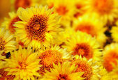 Background is yellow chrysanthemums — Stock Photo