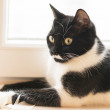 Black and white cat sitting on the window — Stock Photo