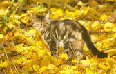 Cat in autumn leaves — Stock Photo