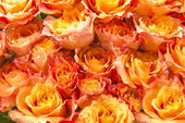 A lot of orange roses — Stock Photo