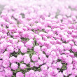 Stock Photo: Spherical pink chrysanthemum