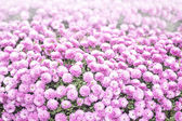 Spherical pink chrysanthemum — Stok fotoğraf