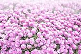 球形のピンクの菊 — ストック写真