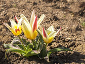 Dwarf tulips in early spring — Stock fotografie