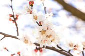 Cherry blossoms bright sunny day — Stock Photo
