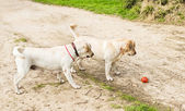 Two labrador in the park in spring — Stock fotografie