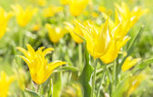 Aquifolium yellow tulips — Stock Photo