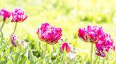 Fioletowe tulipany w ogrodzie — Zdjęcie stockowe