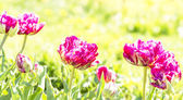 Purple tulips in the garden — Stok fotoğraf