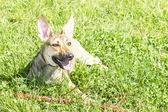 Dog resting in the green grass — Stock Photo