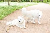 Dva bílé psí procházky v parku — Stock fotografie