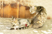 Watchful mother cat and kitten on an old wooden table — Stock Photo