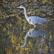Heron, bird, lake — Stock Photo #14850173