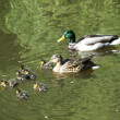Duck drake and ducklings — Stock Photo