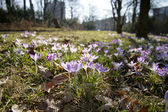 Crocus, saffron,spring — Foto Stock