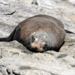 Stock Photo: One ufr seal lying above rock
